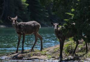 Woodland Caribou on the Slate Island Tour