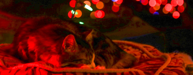 Coda sleeping with Christmas lights